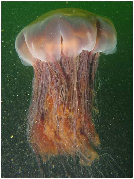 Large lions mane jellyfish
